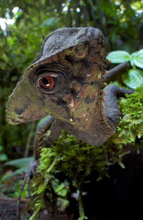 A portrait of Helmeted iguana (Corytophanes cristatus) from Costa Rica
