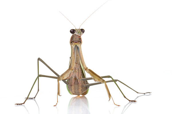 A portrait of a female Chinese mantis (Tenodera parasinensis)