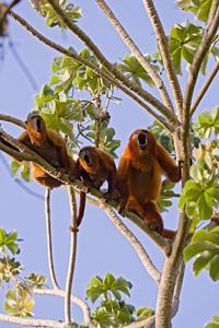 Red Howler monkeys (Alouatta seniculus) from Venezuela
