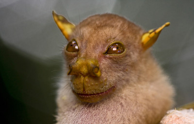 Yoda bat (Nyctimene sp.) from Papua New Guinea