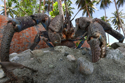 Coconut crab (Birgus latro) from Solomon Islands