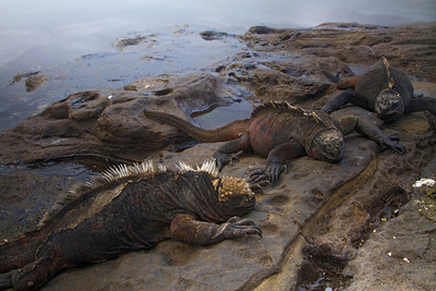 Marine iguanas (Amblyrhynchus cristatus mertensi) from Santiago, Galapagos Islands