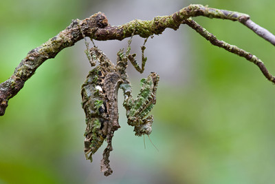 Lichen-mimicking praying mantis (Pseudacanthops sp.) from Guyana