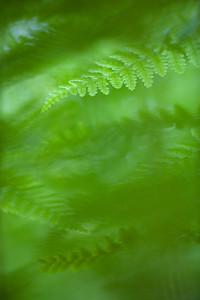 Fern leaves, Massachusetts