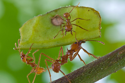 Leaf-cutter ants (Atta cephalotes) from Costa Rica