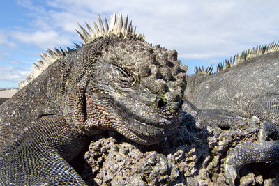 Marine Iguana (Amblyrhynchus cristatus) from Fernandina, Galapagos Islands