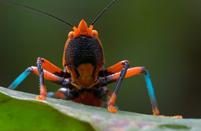 Red and black katydid (Plastocorypha vandicana) from Guinea, West Africa