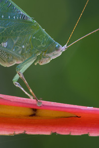 A portrait of Costa Rican katydid (Hyperphrona irregularis)